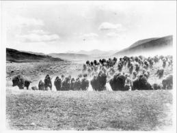 Bison Herd Montana
